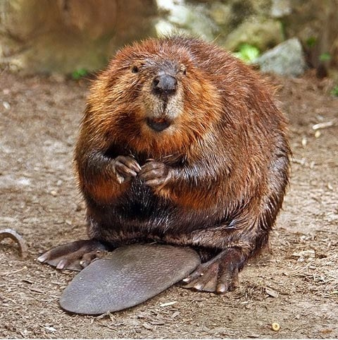 beaver-4
