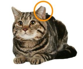 Ear-tipped-cat3